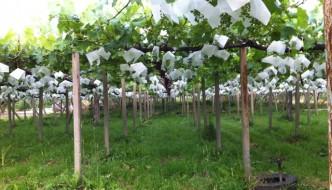 Razi agricultor: Campos de uvas en Yamanashi